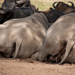 White sleeping rhinos